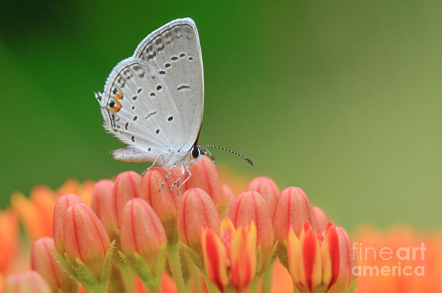 Eastern Tailed Blue on Butterfly Weed by Katie Joya