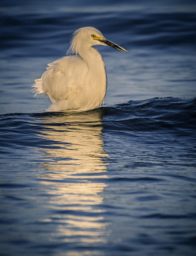Birds Photograph - Egret At Lake Chapala by Dane Strom