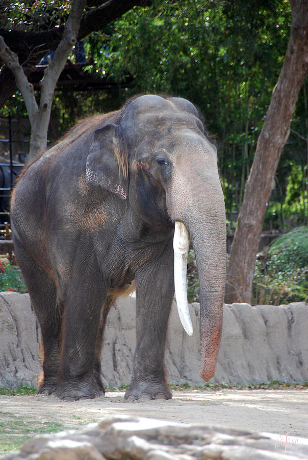 Elephant Photograph - Elephant by Thea Wolff