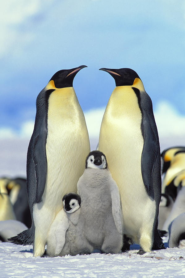 Mp Photograph - Emperor Penguin Aptenodytes Forsteri by Konrad Wothe