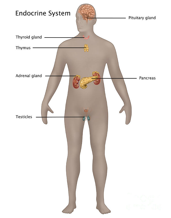Endocrine System In Male Anatomy Photograph by Gwen Shockey