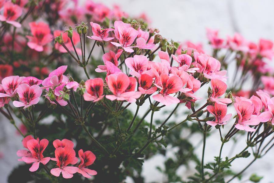 English Geranium Flowers Photograph