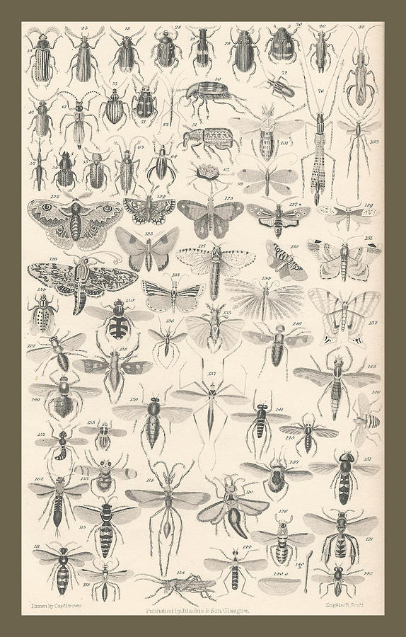 Goldsmith Drawing - Entomology by Dreyer Wildlife Print Collections
