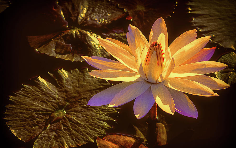 Evening Glow Water Lily by Julie Palencia