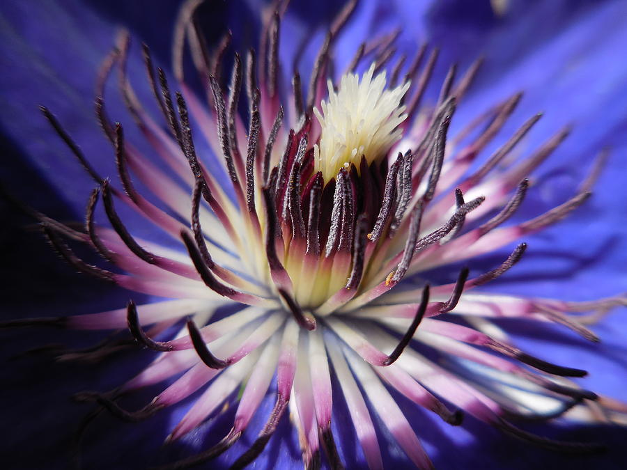 Eye of the Clematis by Rebecca Mento