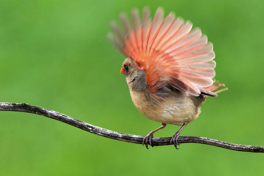 Female Cardinal, Perched on a Branch, About to Take Flight by Ami Parikh