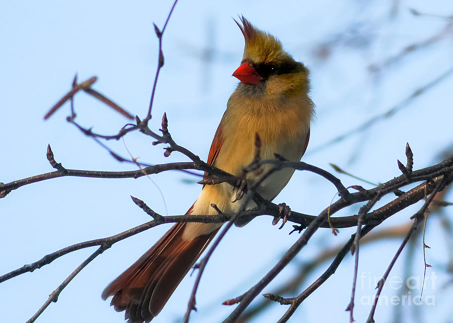 Canon Photograph - Female Northern Cardinal by Ricky L Jones