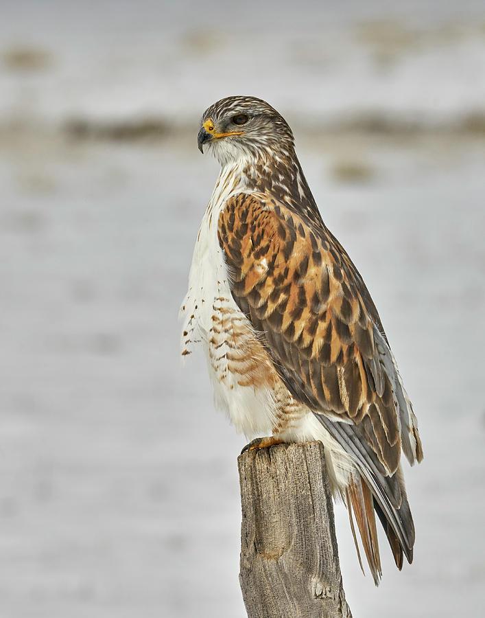 Birds Photograph - Ferruginous Hawk by Doug Herr