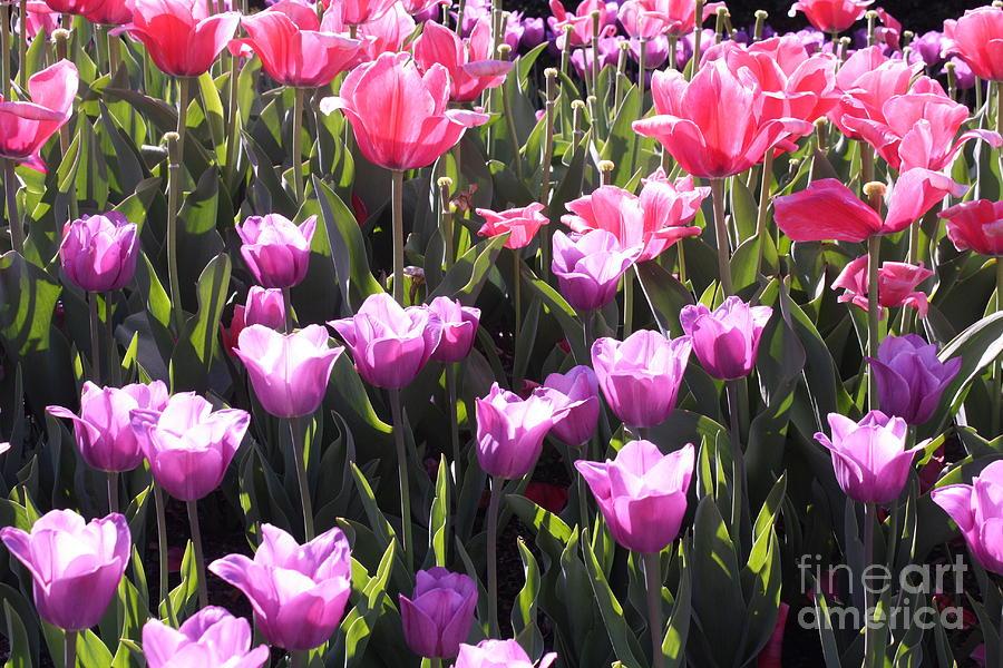 Tulips Photograph - Festival Of Tulips by Dora Sofia Caputo Photographic Design and Fine Art