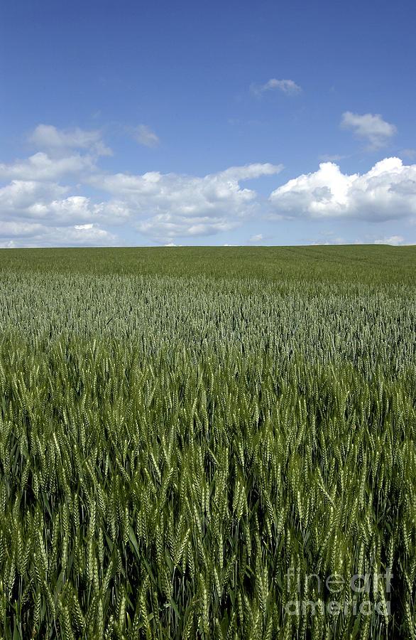 Wheat Photograph - Field Of Wheat by Bernard Jaubert