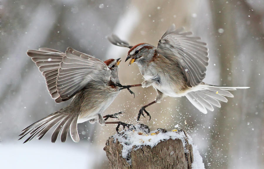 Nature Photograph - Fight Club by Mircea Costina