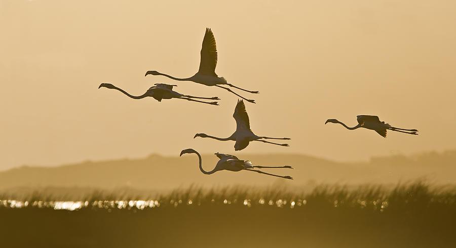 Flamingo Photograph - Flamingo Flight by Basie Van Zyl