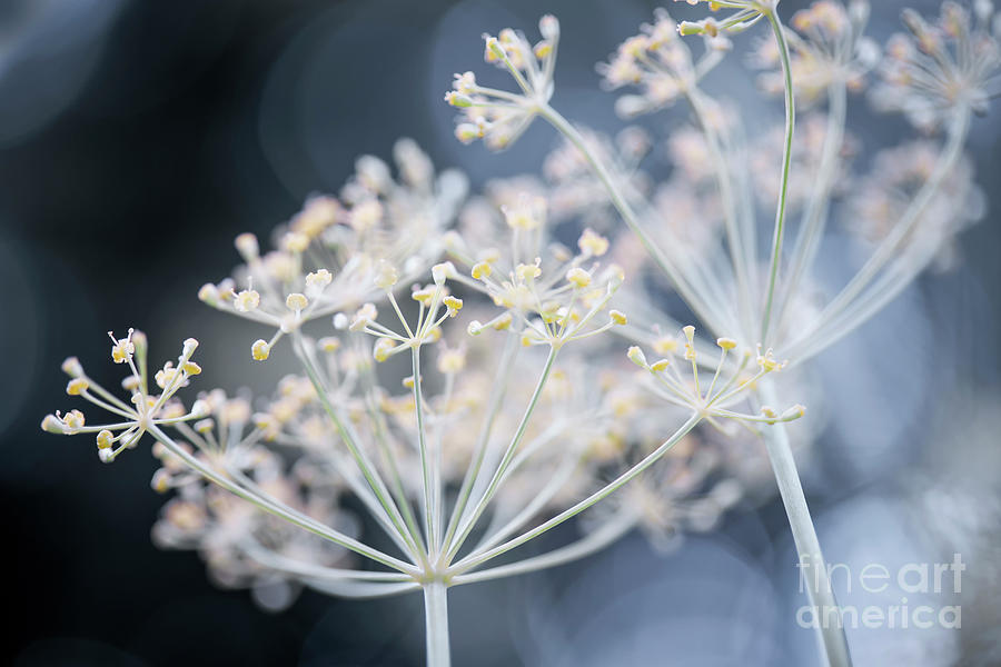 Dill Photograph - Flowering Dill Clusters 1 by Elena Elisseeva