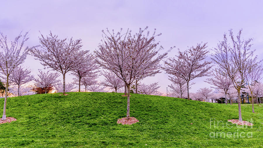 Tree Photograph - Flowering Young Cherry Trees On A Green Hill In The Park  by Viktor Birkus