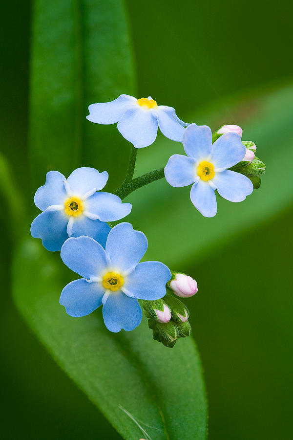 Forget-me-not Photograph - Forget-me-not by Yuri Peress