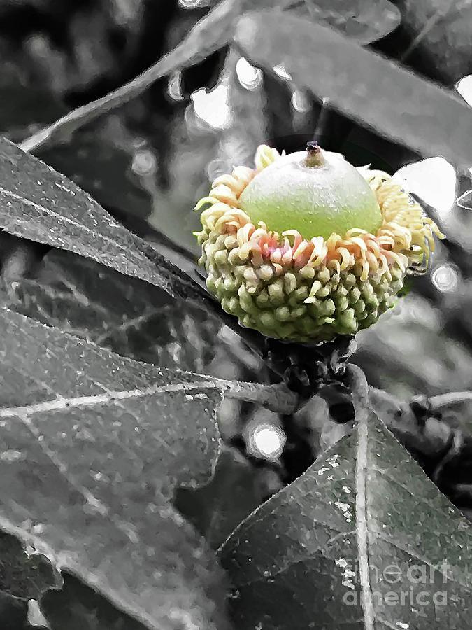 Acorn Photograph - Found An Acorn by Stephanie Hanson
