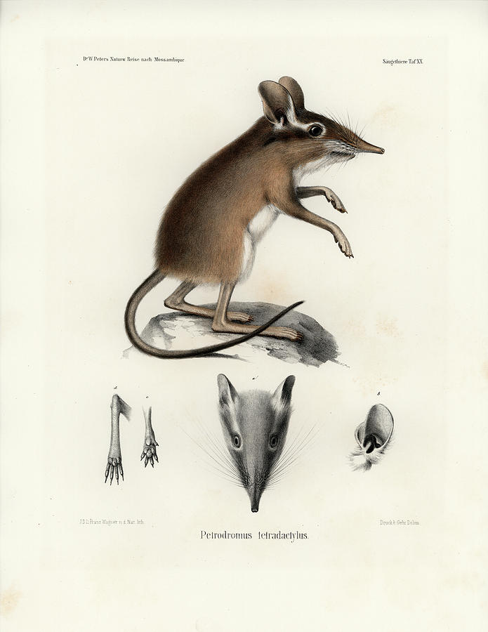 Four-toed Elephant Shrew by J D L Franz Wagner