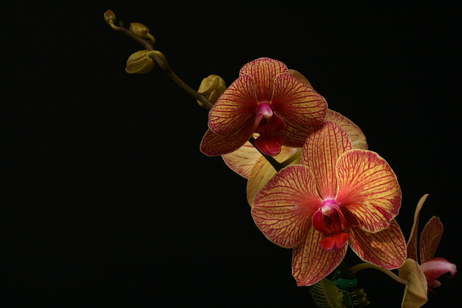Orchid Photograph - Friendship by Doug Norkum
