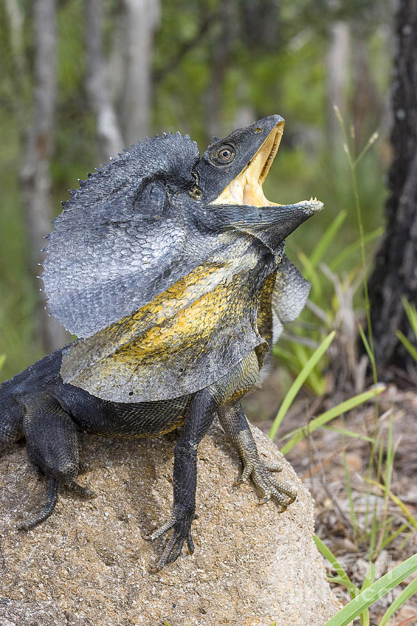 Frill-necked Lizard Photograph by B. G. Thomson