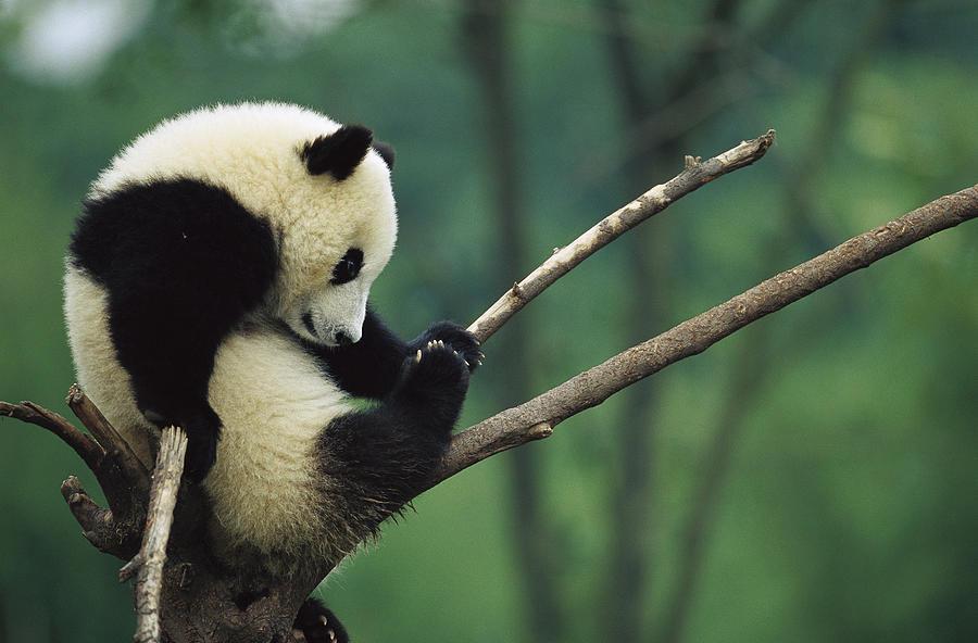 Giant Panda Ailuropoda Melanoleuca Year Photograph by Cyril Ruoso