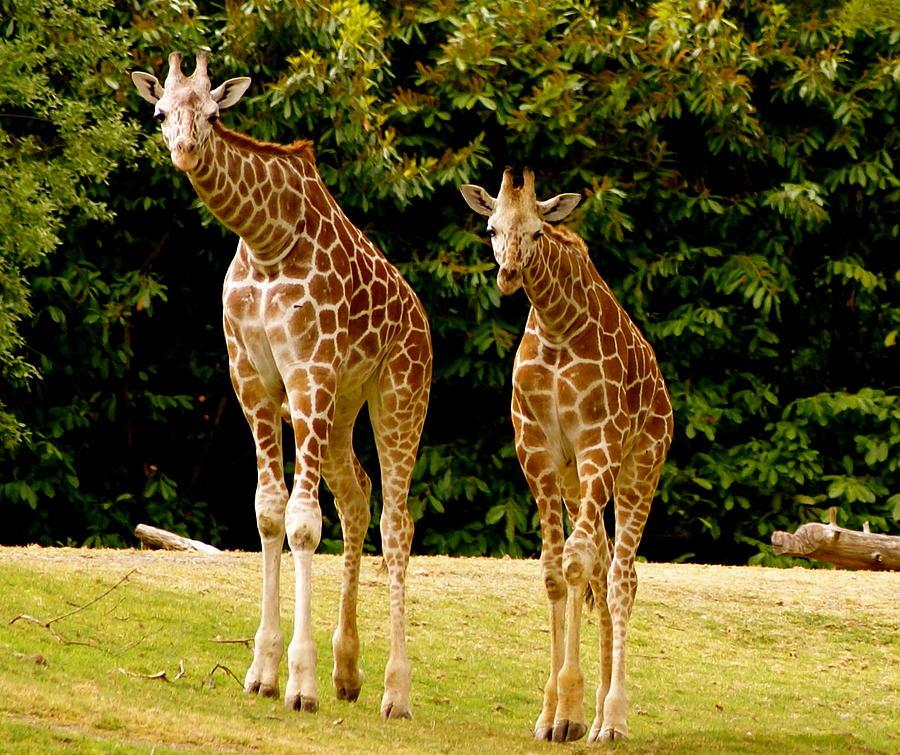 Animals Photograph - Giraffe Family by Sonja Anderson