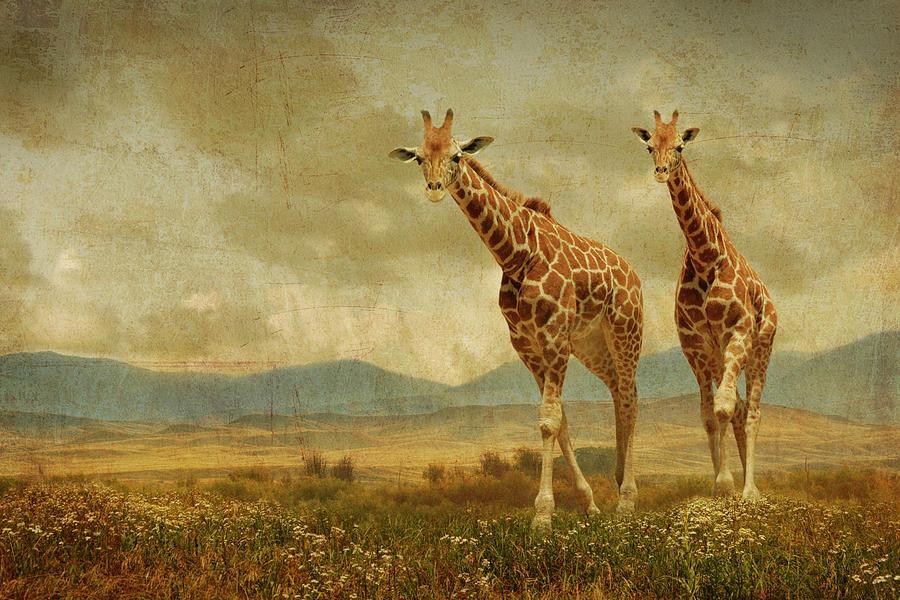 Giraffes Photograph - Giraffes In The Meadow by Guy Crittenden