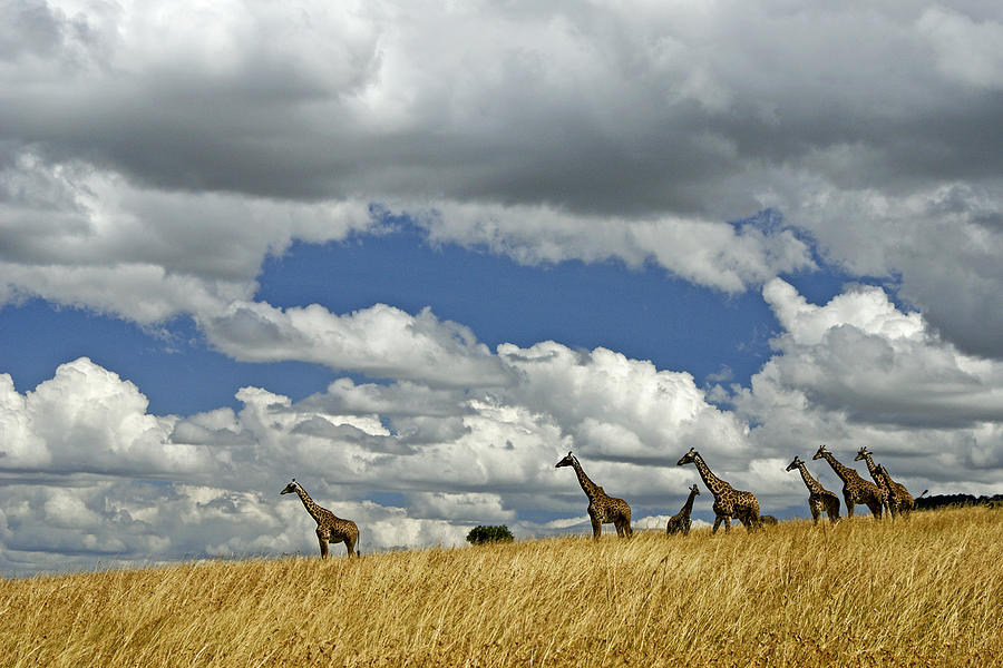Africa Photograph - Giraffes On The Horizon by Michele Burgess