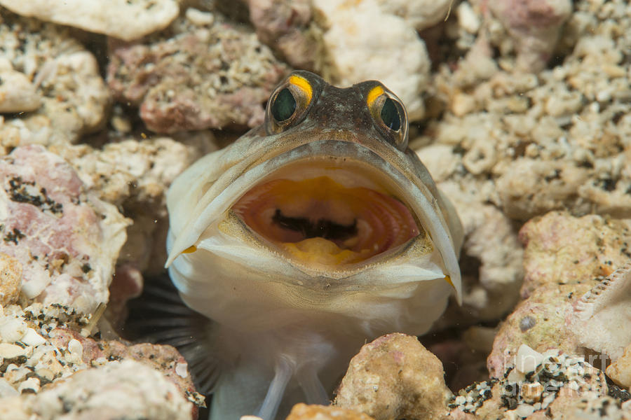 Gold-specs Jawfish In Its Hole Photograph