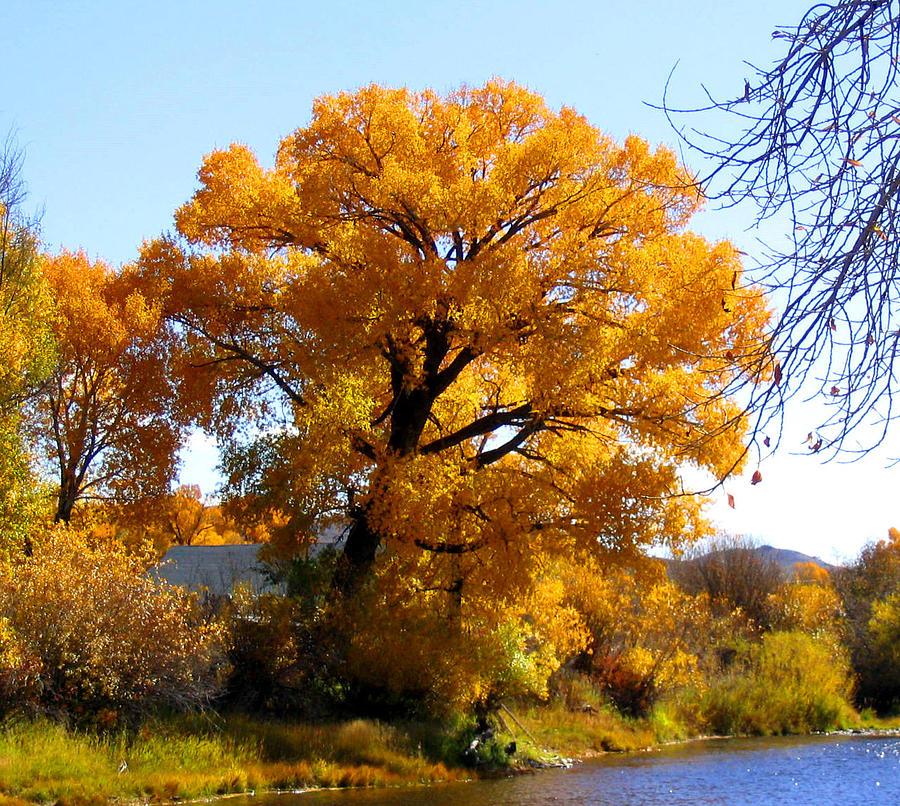 Golden Tree Photograph by Gigi Kobel