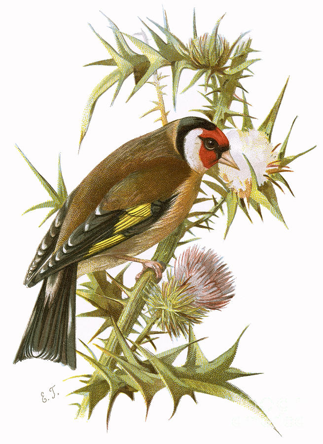 Finch Painting - Goldfinch by English School