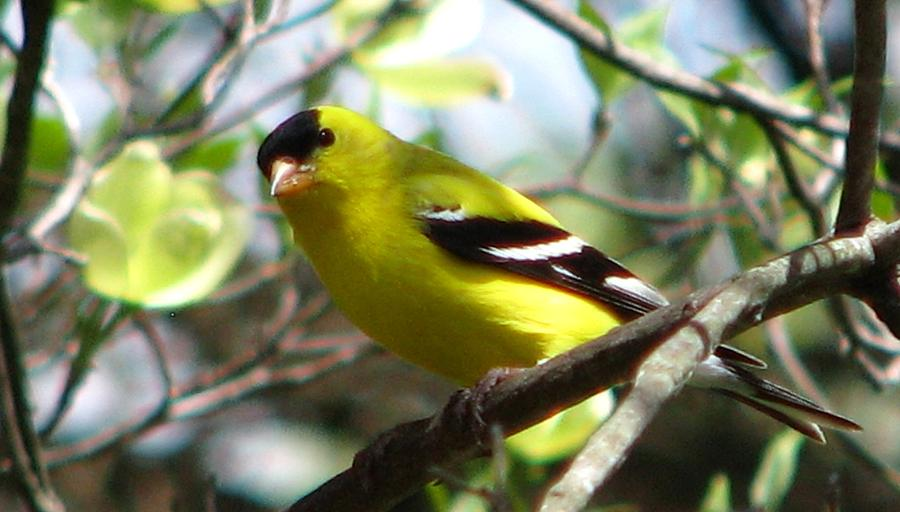 Goldfinch Photograph - Goldfinch Spring by Angela Davies