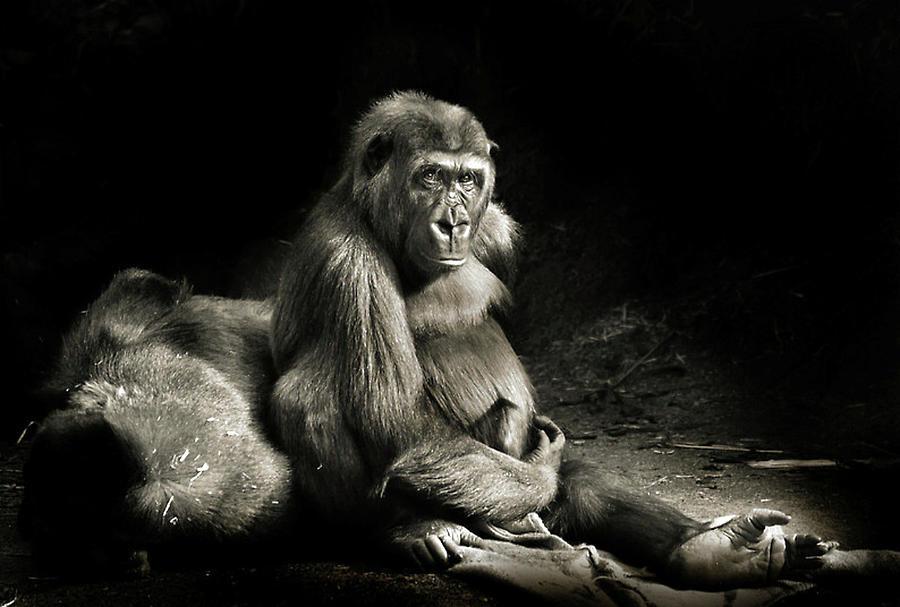 Gorilla Digital Art - Gorilla by Dorothy Binder