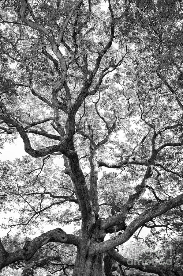 Oak Photograph - Granby Oak by HD Connelly