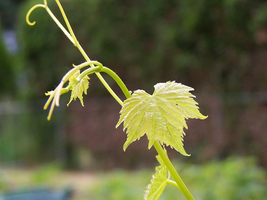 Grape Photograph - Grapevine by Heather L Wright