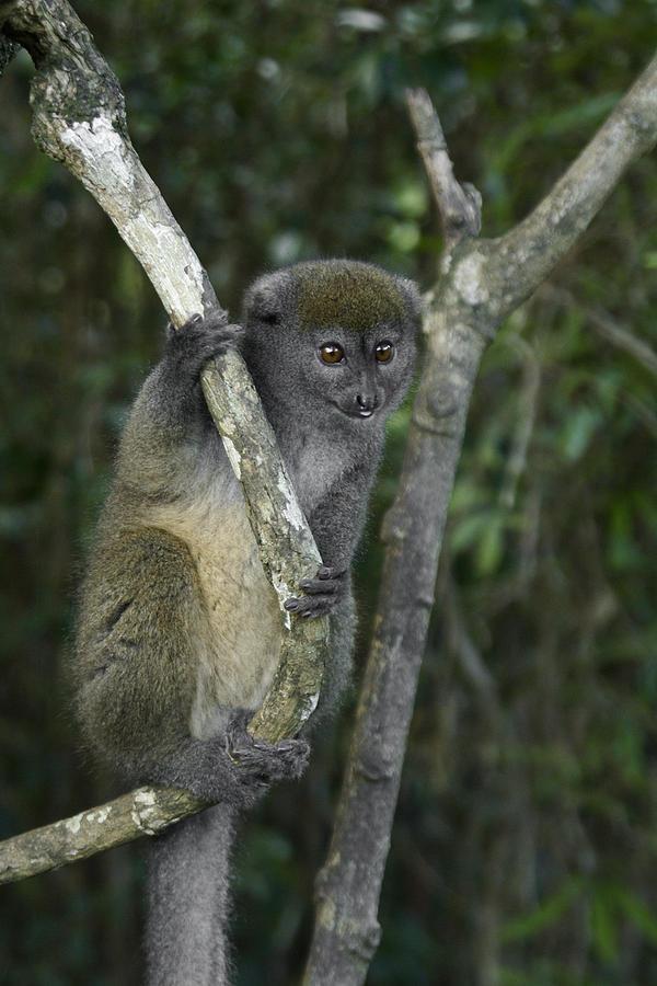 Madagascar Photograph - Gray Bamboo Lemur by Michele Burgess