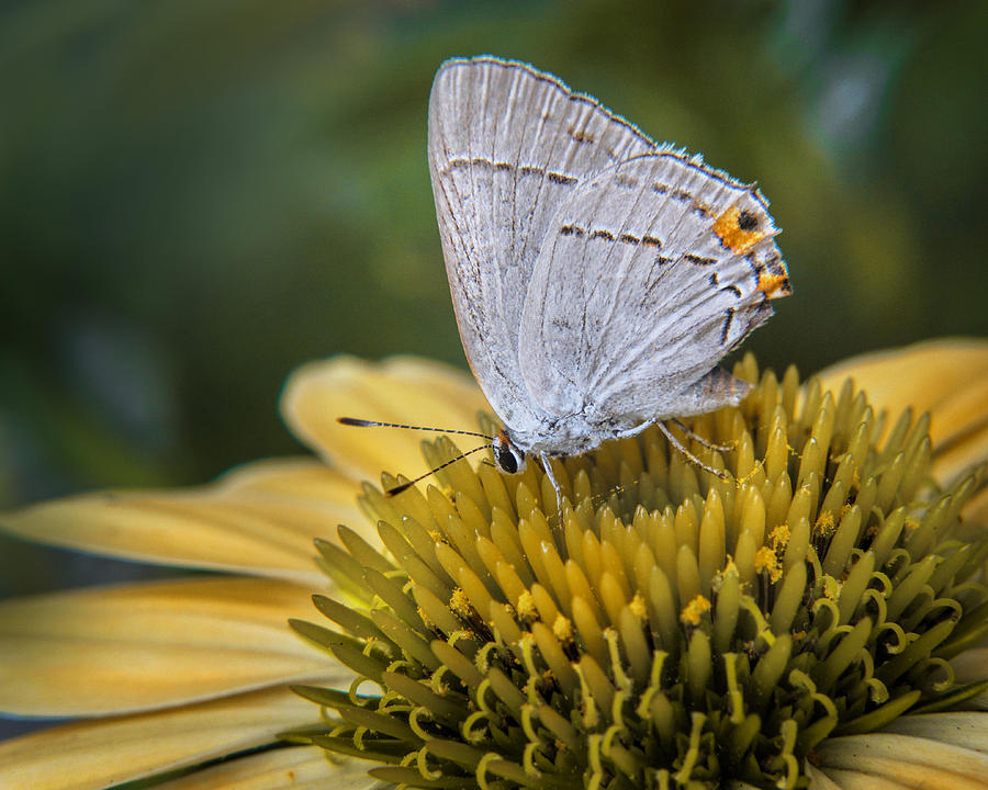 Bloom Photograph - Gray Hairstreak Butterfly by David and Carol Kelly
