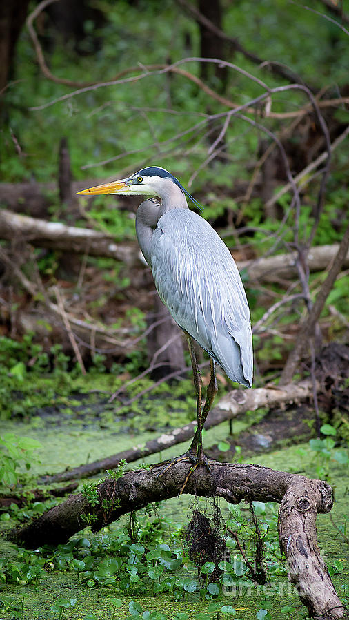 Great Blue Heron by Brad Marzolf Photography