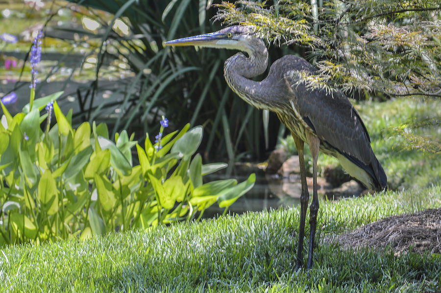 Great Blue Heron Photograph - Great Blue Heron by Linda Geiger