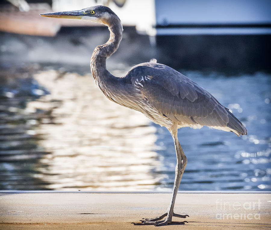 Canon Photograph - Great Blue Heron by Ricky L Jones