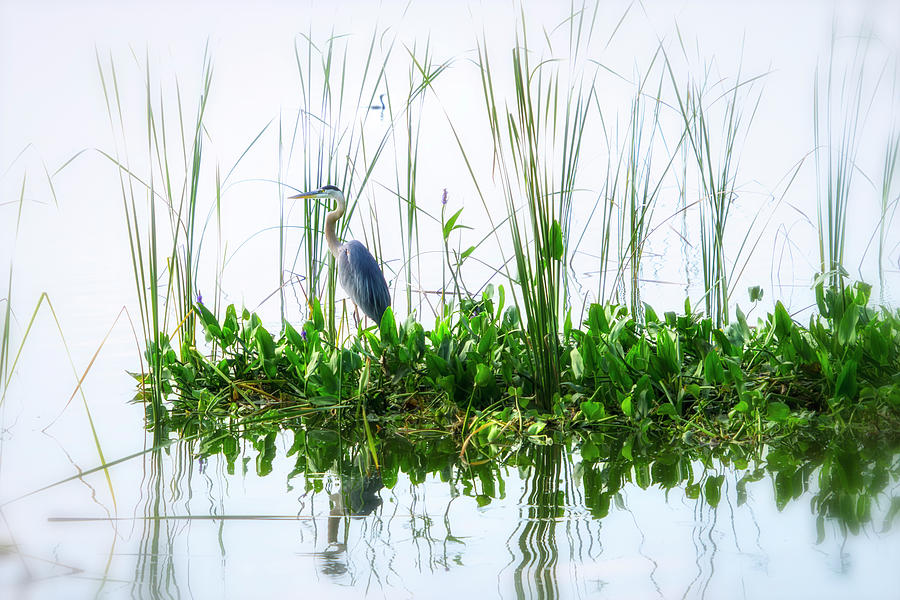 Great Blue on Green Island by Ghostwinds Photography
