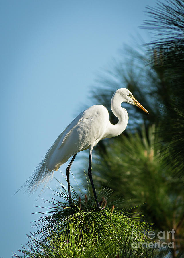 Great Egret by Brad Marzolf Photography
