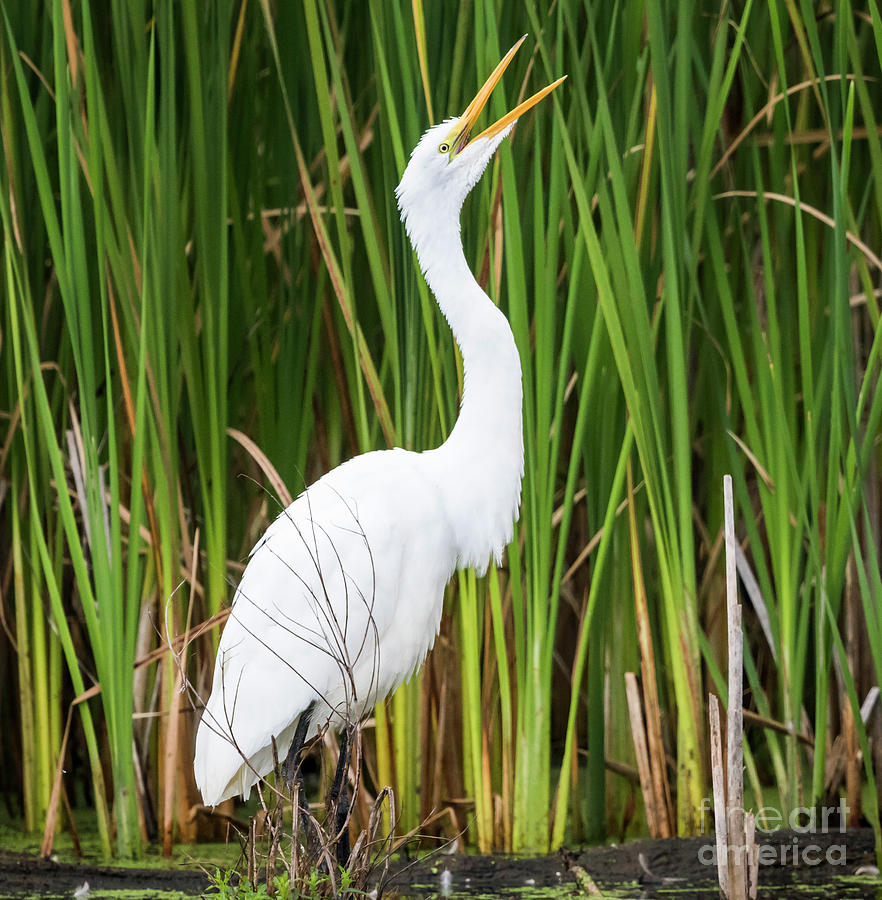 Canon Photograph - Great Egret by Ricky L Jones