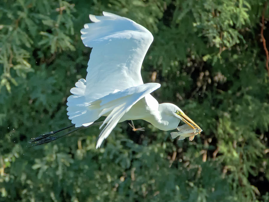 Great Photograph - Great Egret With Fish by Tam Ryan