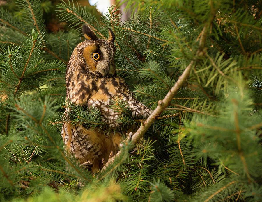 Owl Photograph - Great Horned Owl by Roy Nierdieck