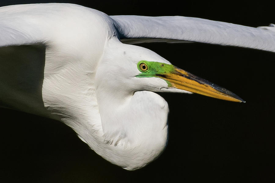 Birds Photograph - Great White Egret by Don Miller