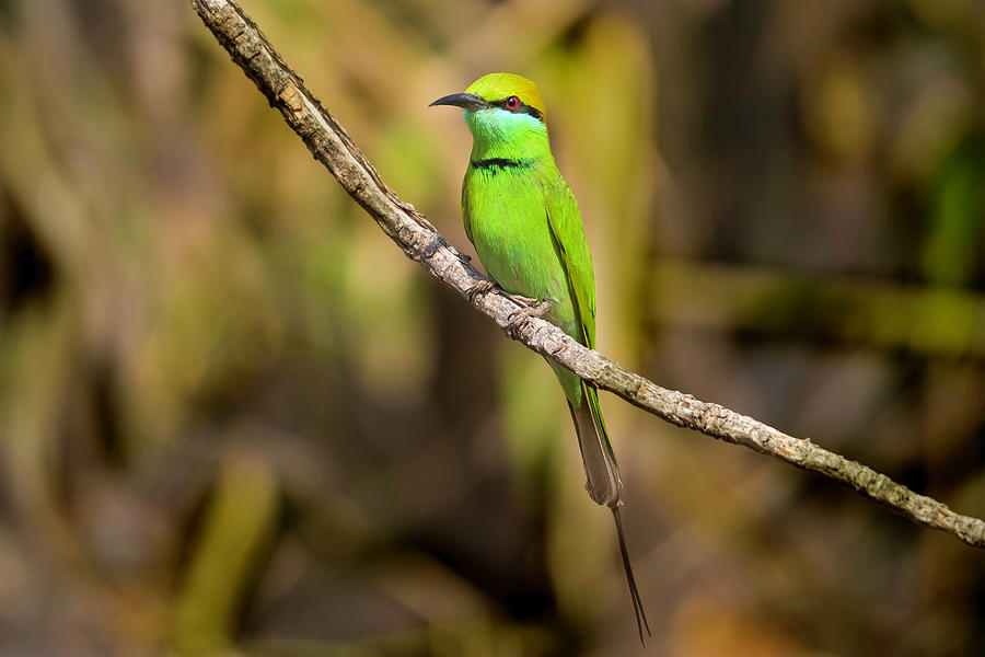 Bird Photograph - Green Bee-eater by Pravine Chester