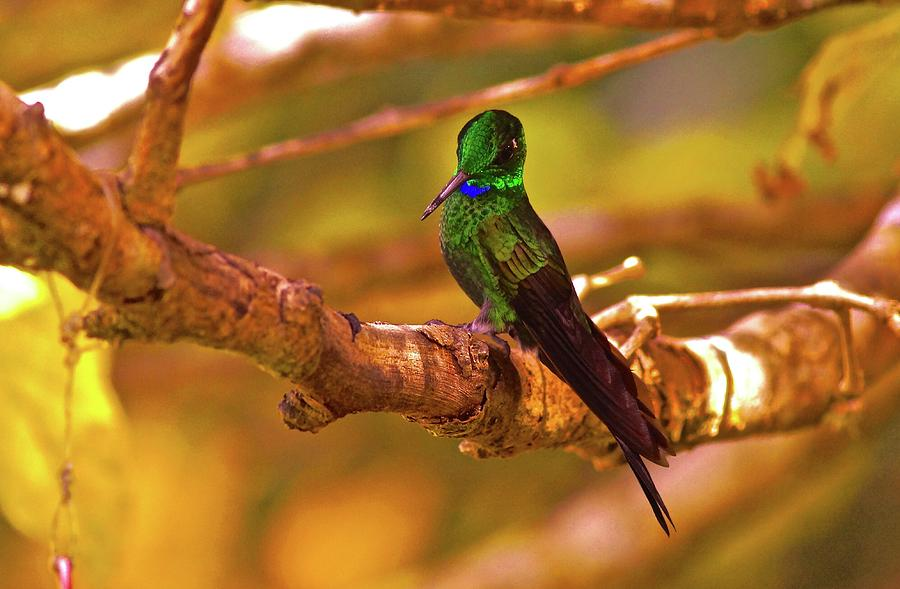 Green-crowned Brilliant Hummingbird Costa Rica Cloud Forest Photograph
