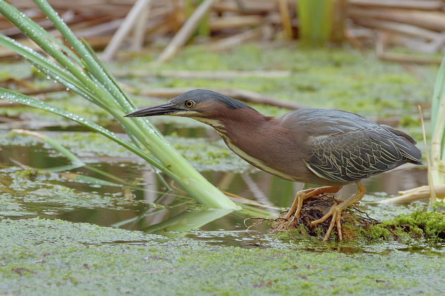 Birds Photograph - Green Heron by Doug Herr