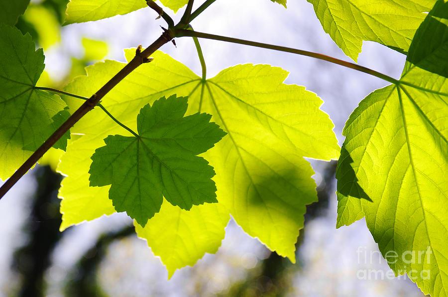 Autumn Photograph - Green Leaves by Carlos Caetano