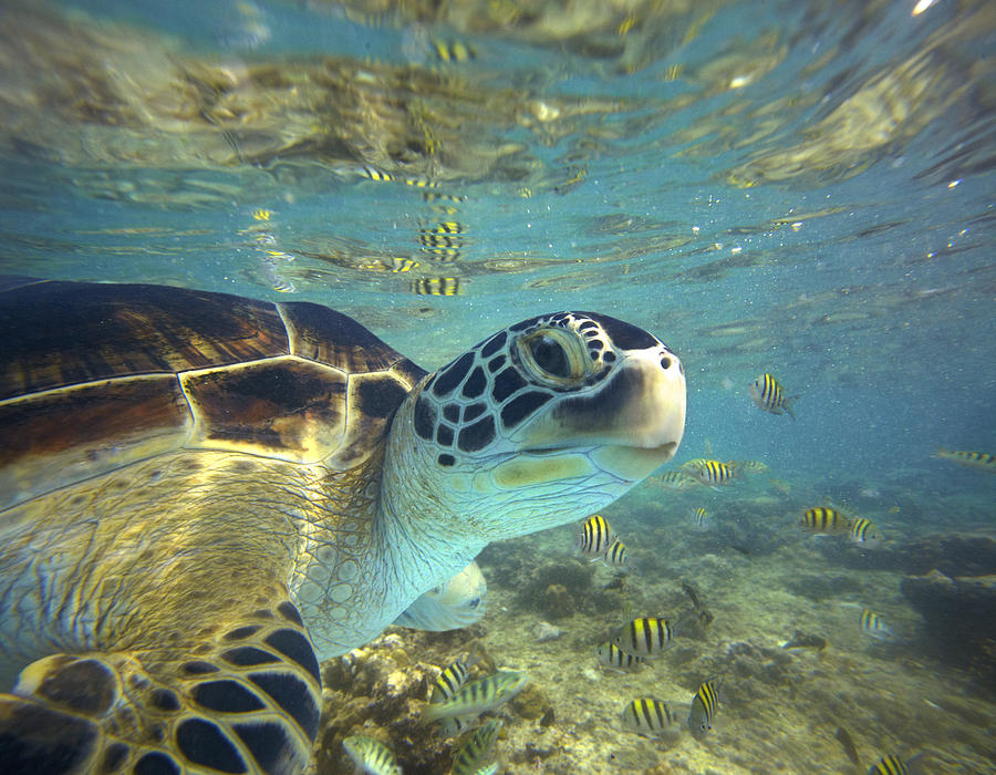 Adult Photograph - Green Sea Turtle Balicasag Island by Tim Fitzharris